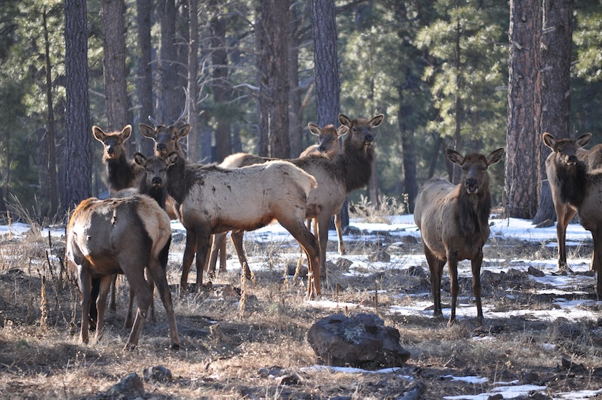 Arizona- Elk 1