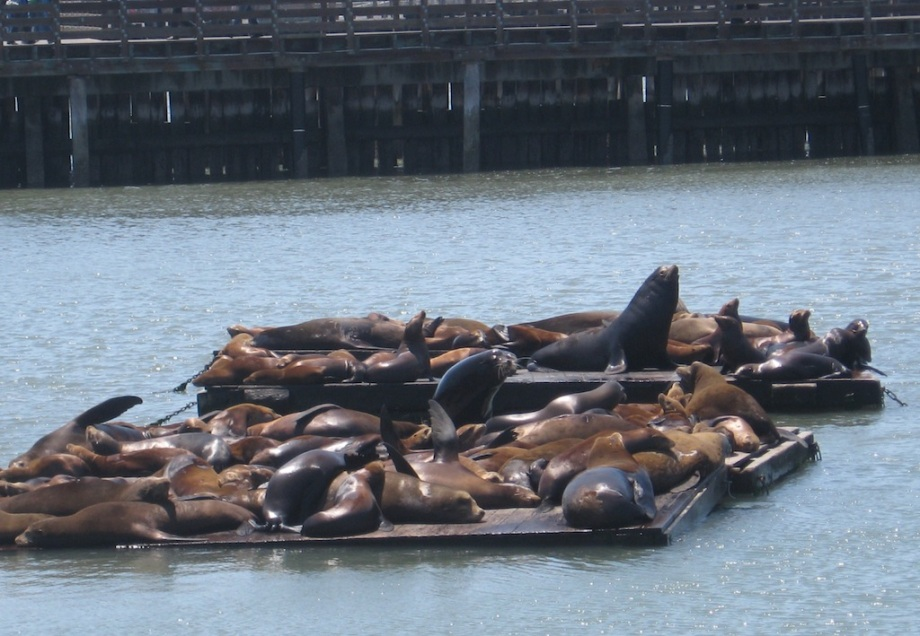 California- San Francisco- Sea Lions on the Docks 1