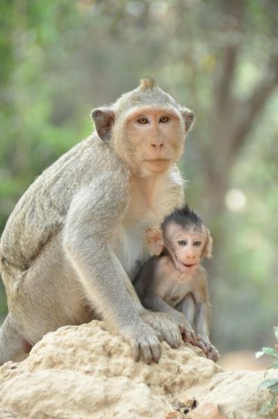 Cambodia- Siem Reap- Angkor Wat- Monkeys Mom and Baby 1