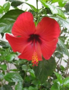 Italy- Positano- Flower 1
