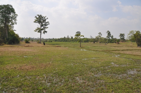 Cambodia - Siem Reap - Rice Paddy Field 1