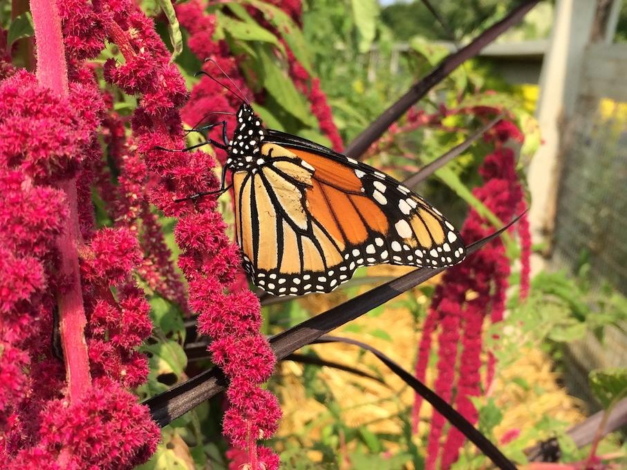 Longwood Gardens - Pennsylvania - Butterfly 1
